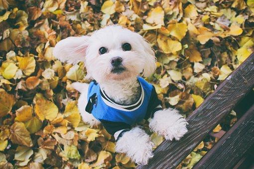 Dog, Autumn, Maltese Dog, Cute, White, Leaf, Foliage
