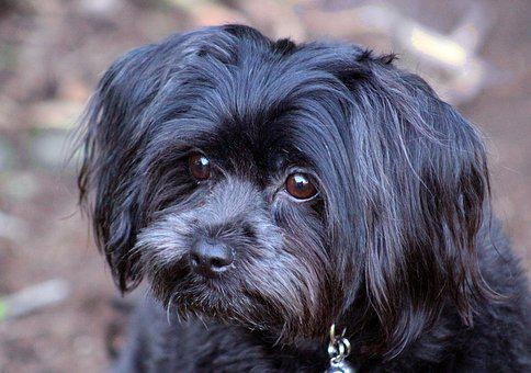 Puppy, Dog, Black, Cute, Doggy, Adorable, Small, Canine