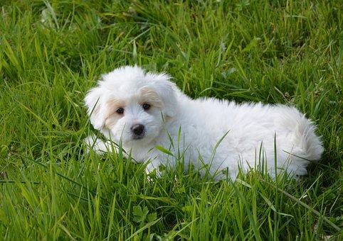 Puppy Dog, Cotton Tulear, Animal, Domestic Animal