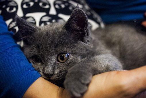 Kitten, Cat, Pet, Domestic Cat, Tomcat, Animal, It Lies