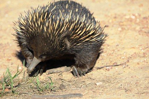 Echidna, Australia, Animal, Marsupial, Cute
