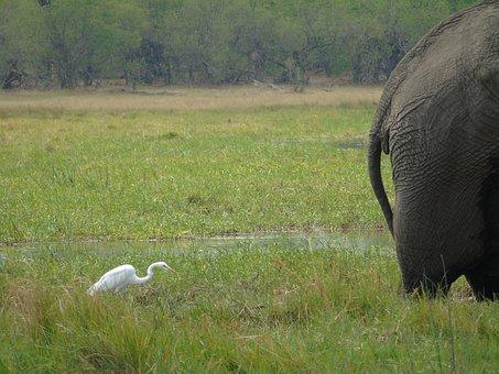 Elephant, Egret, Bum, Swamp, Animal, Africa