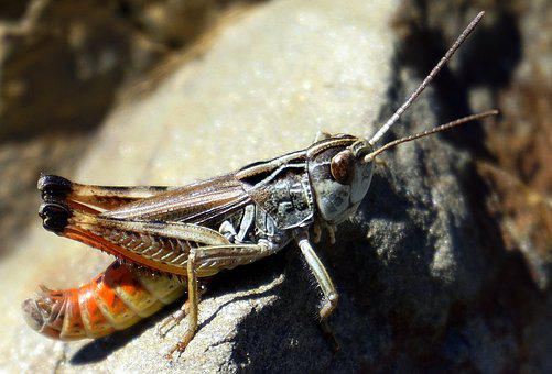 Grasshopper, Animal, Insect, Lobster, Eyes, Antenna