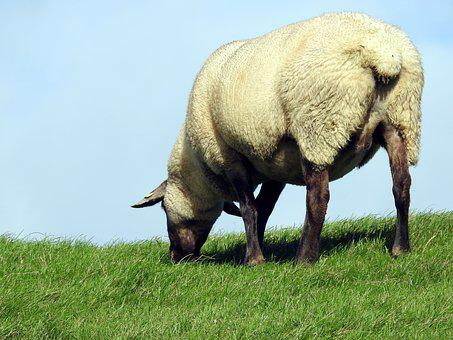 Sheep, Pasture, Meadow, Graze, Dike, Flock Of Sheep