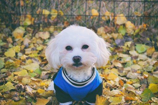 Maltese Dog, Dog, White, Animal, Cute, Autumn, Foliage