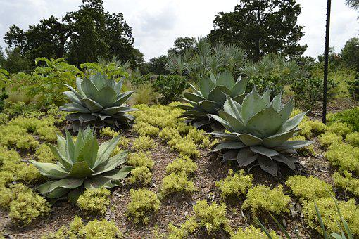 Cactus Plants, Botanical, Garden, Houston, Texas