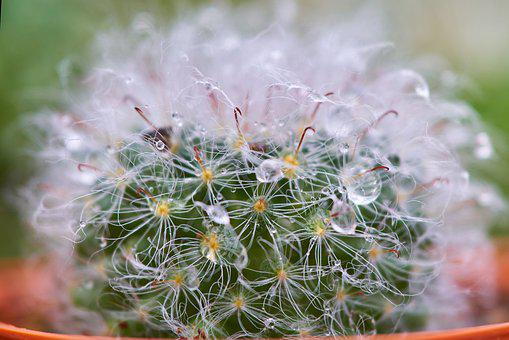 Cactus, Dea, Macro, Detail, Beautiful, Flower Picture