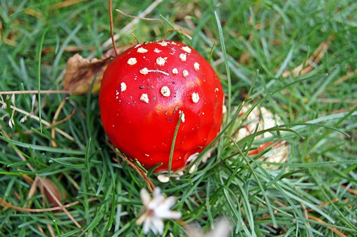 Fly Agaric, Red, Meadow, Toxic, Nature, Forest, Autumn