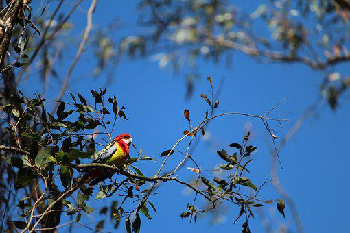 Parrot, Bird, Gum, Tree, Perched, Eastern, Rosella