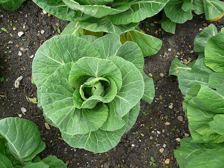 Cabbage, Garden, Veg, Vegetable, Food, Plant, Green