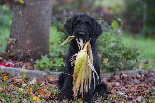 Labradoodle, Labrador, Poodle, King Poodle, Dog, Pet