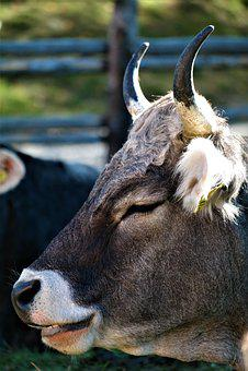Cow, Portrait, Beef, Livestock, Pasture, Agriculture