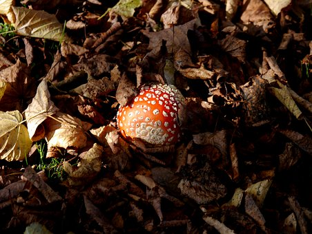 Fly Agaric, Leaves, Toxic, Red Fly Agaric Mushroom