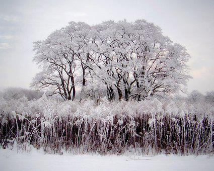 Trees, Acacias, Malý Rohozec, Winter, Covered With Snow