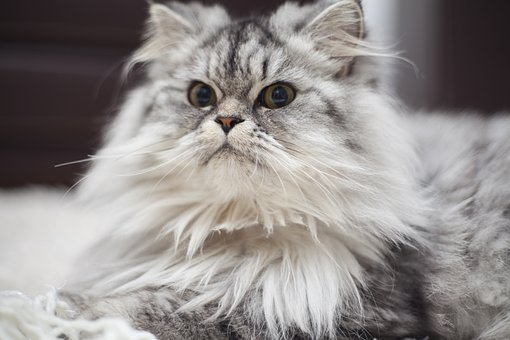 Cat, Cute, Grey, Furry, Animals, Overview, Whisker