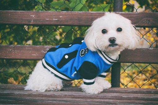 Maltese Dog, Dog, Autumn, White, Cute, Foliage, Leaf