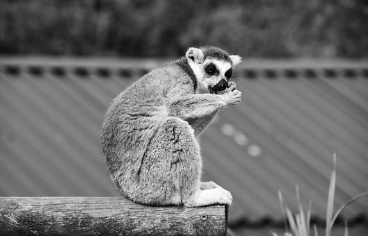 Lemur, Madagascar, Zoo, Animal, Wildlife, Wild, Primate