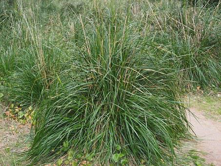 Dissgras, Grass, Diss, Ampelodesmos Mauritanicus