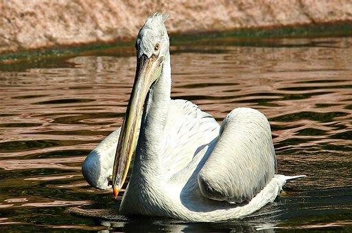 Pelikan, Water Bird, Zoo, Birds, Animal, Bill, Plumage
