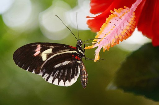 Papilio Rumanzovia, Butterfly, Animal, Insect