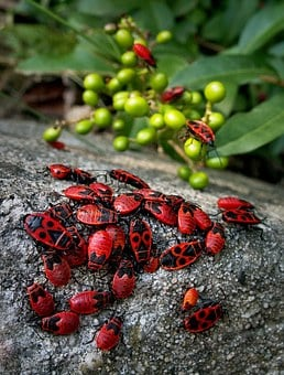 Beetles, Insects, Event, Smith Wingless, Macro, Red