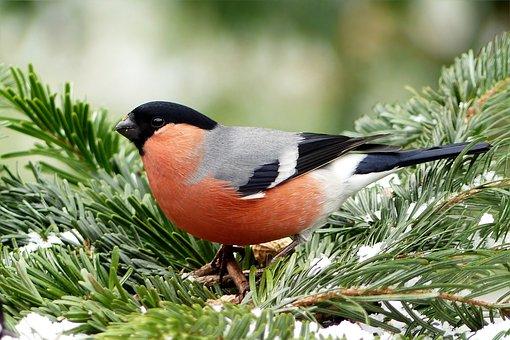 Bullfinch, Bird, Males, Animal, Pyrrhula, Foraging