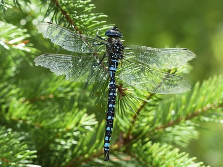 Dragonfly, Blue, Black, Brown, Insect, Nature, Animal