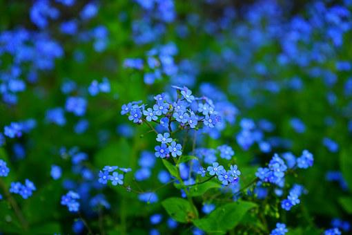 Forget Me Not, Flower, Brunnera Vergissmeinnicht