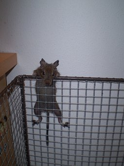 Cage, Degu, Table, Wall