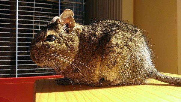 Bush, Rat, Mouse, Degu, Chilenian Bush Rat, Sun, Shine