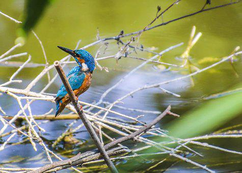Kingfisher, Bird, Clean, River, Nature, Feather