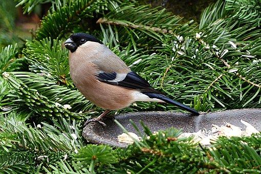Bullfinch, Bird, Animal, Female, Pyrrhula, Winter