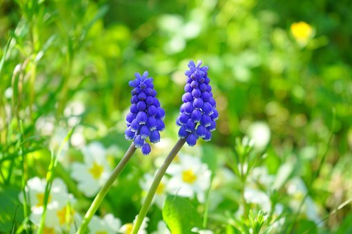 Muscari, Blossom, Bloom, Flower, Blue, Spring