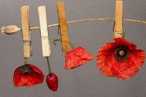 Poppy, Poppy Flower, Flower, Red Poppy, Klatschmohn