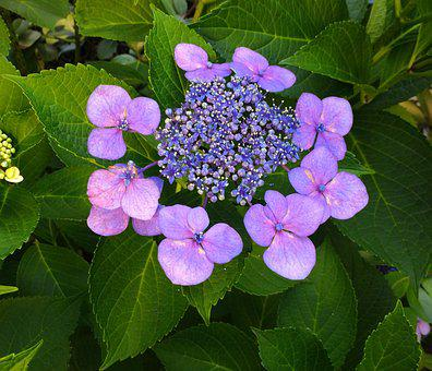 Hydrangea, Flowers, Purple, Pink, Pastel, Green, Leaf