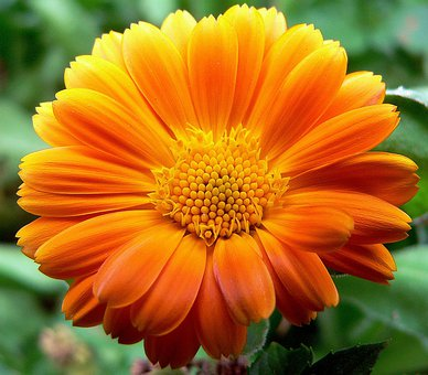 Gerbera, Flower, Asteraceae, Ornamental Plant
