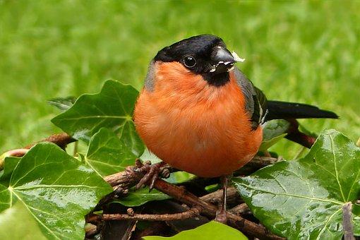 Animal, Bird, Bullfinch, Male, Gimpel, Pyrrhula, Close