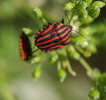 Graphosoma Lineatum, Insect, Beetle, Beetles, Nature