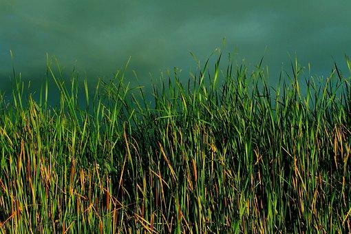 Grass, Typha, Bulrush, Reed, Green, Lush, Landscape