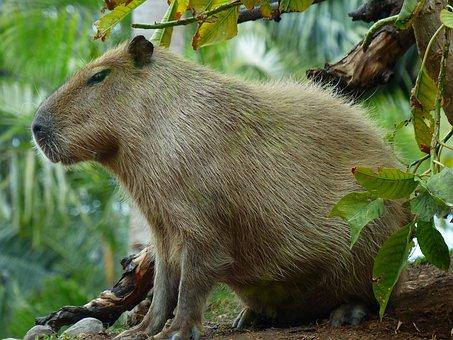 Capybara, Animal, Hydrochoerus Hydrochaeris, Mammal