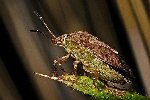Shield-bug, Macro, Insect, Invertebrate, Arthropod