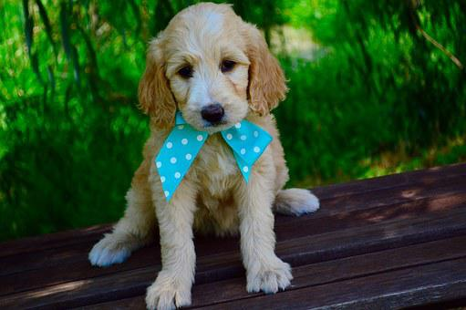 Goldendoodle, Puppy, Two, Months