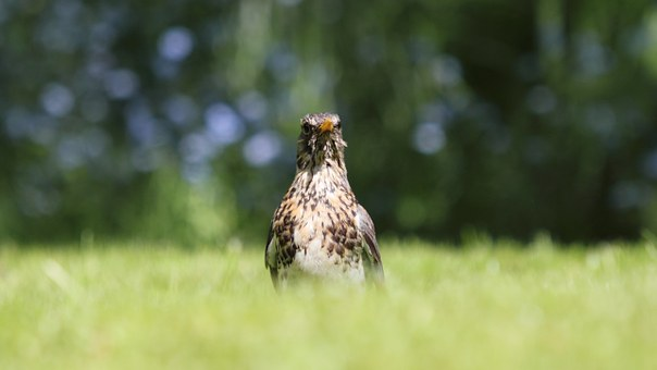Fieldfare, Bird, Grass, Dof, Nature, Outdoors Backyard