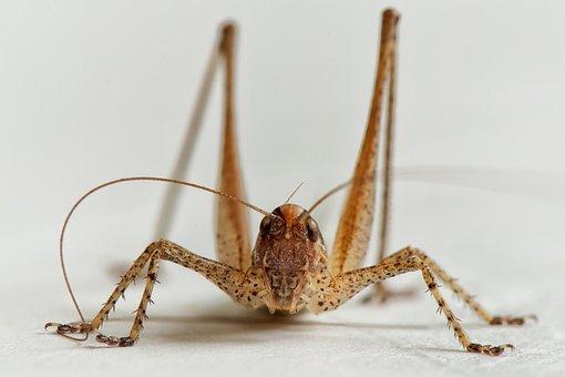 Bush-cricket, Grasshopper, Ornithopter, Insect, Macro