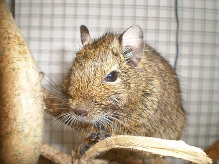 Degu, Pet, Mammal, Browngrey, Branches
