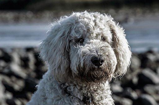 Dog, Hybrid, Goldendoodle, Portrait, White, Wuschelig