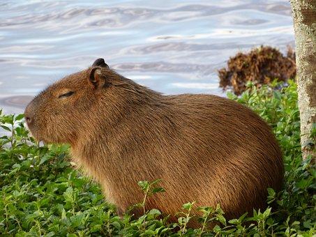 Capybara, Nature, Animal, Puppy