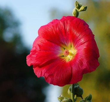 Stock Rose, Flower, Blossom, Bloom, Close, Red, Alive