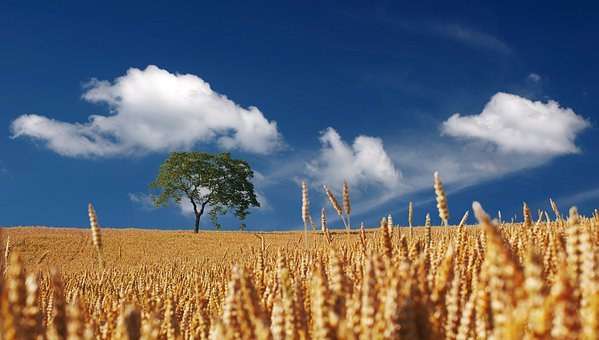 Field, Cereals, Summer, Sun, Sunshine, Cornfield, Ripe