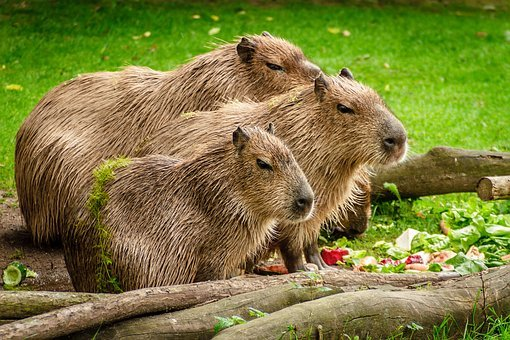 Capybara, Group, Eat, Meadow, Wood, Cute, Fur, Water
